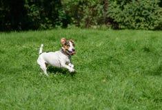 Pies z ślicznym i śmiesznym twarzy wyrażeniem przy zielonej trawy gazonem Fotografia Royalty Free
