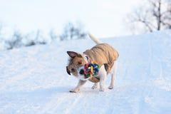 Pies z śmiesznym twarzy wyrażeniem bawić się z kolorową zabawką Fotografia Royalty Free