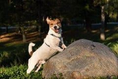 Pies z śmiesznym twarzy wyrażeniem Jack Russell Terrier odprowadzenie przy Obrazy Royalty Free