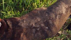 Pies z alergicznymi wysypkami na futerku kłama na trawie zbiory wideo