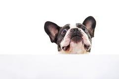 Pies z biel kartą Obrazy Royalty Free