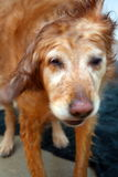 pies z chwianie wody Obraz Royalty Free