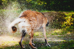 pies z chwianie wody Zdjęcie Royalty Free