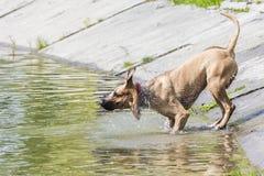 pies z chwianie wody gdy czołgać się od Fotografia Royalty Free