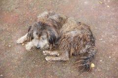 Pies z długim brudnym włosy obrazy royalty free