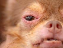 pies z Demodicosis, alergii psia skóra obrazy royalty free