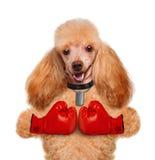 Pies z dużymi czerwonymi rękawiczkami Fotografia Royalty Free