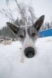 Pies z dużego czerni mokrym nosem Zima głębokość pola płytki Zdjęcia Stock