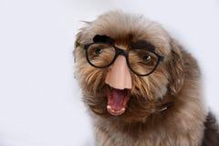 Pies z groucho Marx szkłami obrazy stock