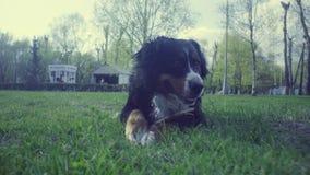 Pies z kijem w wiosna parku zdjęcie wideo