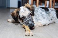 Pies z kością na podłoga Obrazy Royalty Free
