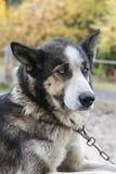 Pies z kołnierzem Obrazy Royalty Free