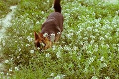 Pies z kwiatami Fotografia Stock