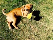 Pies z liściem Zdjęcia Stock