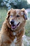 Pies z mydlanymi bąblami obraz royalty free