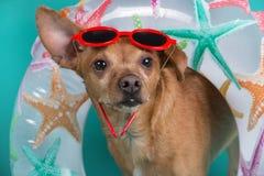 Pies z nadmuchiwanym okręgiem wokoło jego szyi z czerwonymi szkłami na i jego głowie, pojęciu lato i odpoczynku, w górę obrazy stock