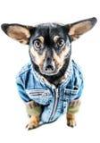 Pies z odziewa Zdjęcie Royalty Free
