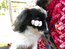 Pies z oko infekcją Oko jest awaryjny i nabrzmiały Fotografia Stock