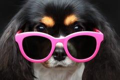 Pies z okularami przeciwsłoneczne Zdjęcie Royalty Free
