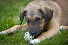 Pies z piłką Obraz Royalty Free