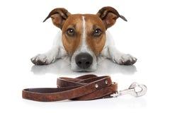 Pies z smyczem obraz stock