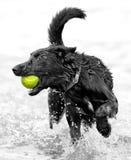 Pies z tenisową piłką Obrazy Royalty Free