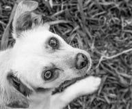 Pies z uroczymi jaskrawymi oczami w czarny i biały Zdjęcia Stock