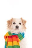 Pies z woolen chustą Fotografia Royalty Free