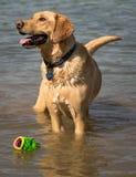 Pies z zabawką Zdjęcia Royalty Free