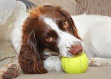 Pies z zabawkarską piłką Obraz Stock