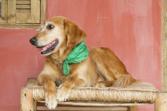 Pies z zielonym szalikiem Obrazy Royalty Free