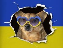 Pies za ukraińską flagą obraz royalty free