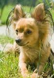 Pies, Zabawkarski Rosjanina Terier. Zdjęcia Royalty Free