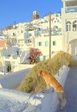 Pies zwiedza na Santorini wyspie, Grecja zdjęcia stock