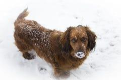Pies, zwierzę domowe, zwierzę, śnieg, legart śliczny, złoty, z rodziny psów, zima, szczeniak, golden retriever, aporter, brąz, ir obrazy stock