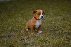 Pies, zwierzę domowe, zwierzę, szczeniak, terier, śliczny, dźwigarki Russell terier, beagle, kieł, trawa, biel, brąz, dźwigarka,  obraz stock