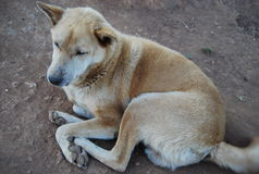 Pies, zwierzę, zwierzę domowe, miejscowy, śliczny, południowo-wschodni Azja, Fotografia Royalty Free