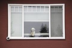 piesek wielka pet okna, zdjęcia stock