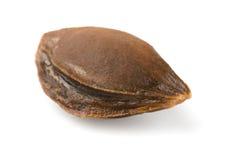 Pietra dell'albicocca Immagine Stock