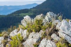 Pietra della montagna con le piante alpine fresche sul pendio di collina Fotografie Stock