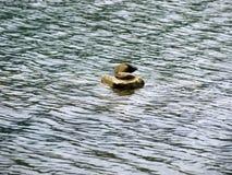 Pietra di forma dell'anatra nel mezzo di acqua Fotografia Stock