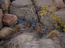Pietra ed erba congelate alla riva della spiaggia fotografia stock libera da diritti