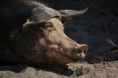 Pietrain swine Sus scrofa f. domesticus.  stock photo