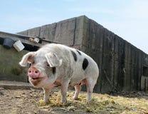 Pietrainvarken royalty-vrije stock afbeelding