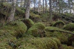 Pietre con muschio ed i pini verdi in un in salita nella foresta immagini stock libere da diritti