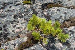 pietre del germoglio dei pini Fotografia Stock