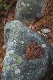 Pietre muscose con gli aghi arancio del pino nella foresta Fotografia Stock