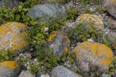 Pietre nel lichene giallo Fotografia Stock Libera da Diritti