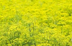 Pietruszka kwiat field2 Zdjęcia Stock