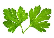 Pietruszka liść Obraz Stock